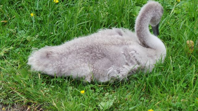 swan18b