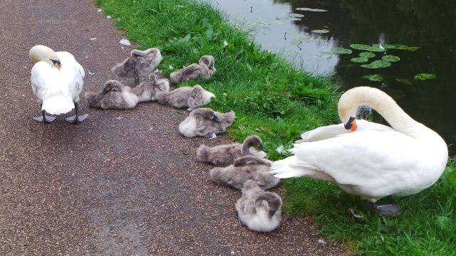 swans81