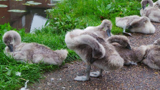 swans83