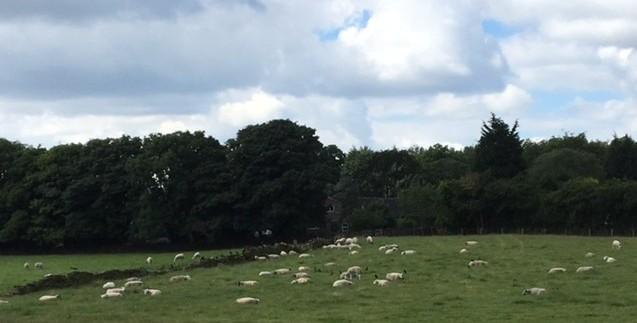The sheep minus the lambs