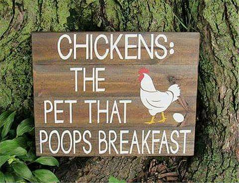 chickens poop breakfast