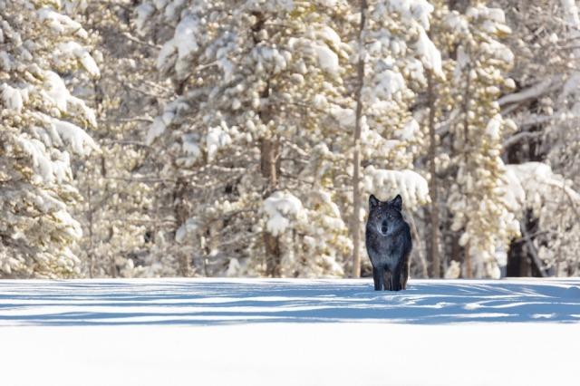 wolf-skeeze